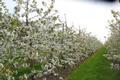 Kirschenbäume in Vollblüte