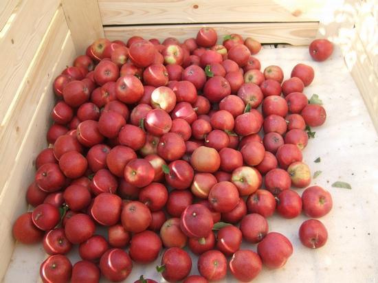 Frisch gepfückte Äpfel in einer Großkiste