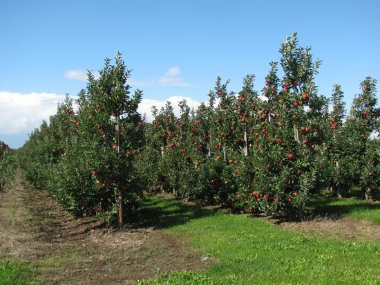 Apfelsorte Elstar mit vollem Behang
