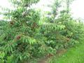 Kirschenbäume kurz vor der Ernte